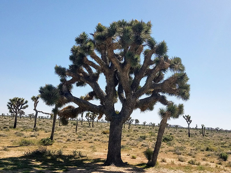Joshua-Tree-Convergence-With-Xscapers-trees